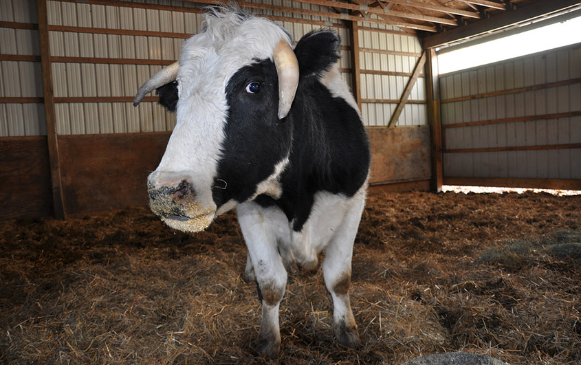After escaping slaughter, Fargo found a new home at SASHA Farm.