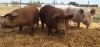 Pigs on MSU's Student Organic Farm. (Photo by MSU Pastured Pig Project)
